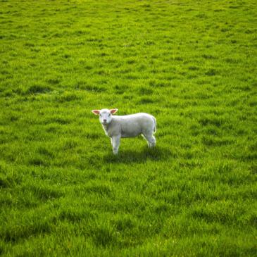 La laine mérinos : douceur, chaleur et légèreté