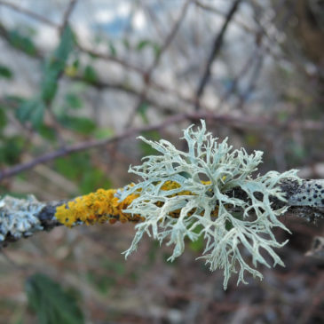 Le lichen, une merveilleuse synergie